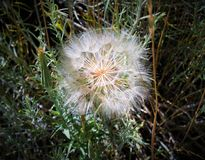 Голова или Blowball семени одуванчика Стоковая Фотография