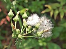 Голова или Blowball семени одуванчика Стоковые Фотографии RF