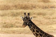 Голова и шея жирафа смотря камеру Стоковые Фото