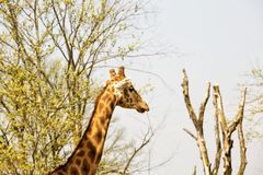 Голова и шея ` s жирафа между деревьями Стоковое Изображение