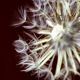 Голова и pappus семени одуванчика стоковое изображение
