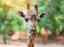 Голова/конец жирафа вверх жирафа во фронте и предпосылке дерева зеленого цвета природы стоковые изображения rf