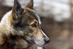 Голова лайки собаки Стоковое Изображение RF