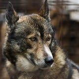 Голова лайки собаки Стоковая Фотография RF