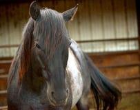 Голова лошади с предпосылкой стойла Стоковые Фотографии RF