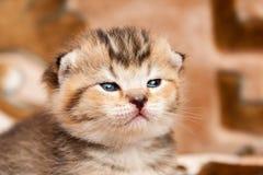 Голова маленького золотого конца-вверх котенка Портрет милого whiskered котенка стоковое фото rf