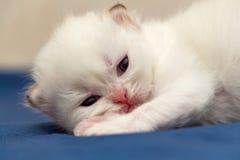 Голова маленького милого белого великобританского конца-вверх котенка стоковая фотография