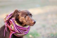 Голова меньшего красного смешивания собаки шоколада или шавка в ярком обнажанном шарфе на предпосылке осени/падения стоковые фото