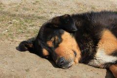 Голова милой бездомной собаки Сфотографированный в Kyanjing Gompa, Langta Стоковые Изображения