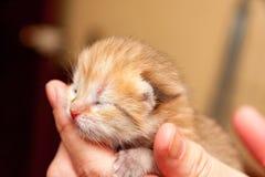 Голова небольшого newborn золотого котенка с глазами которые пока не раскрывали после рождения и розового носа лежит в руке стоковая фотография rf