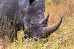 Голова носорога конец-вверх в саванне Meru, Кении стоковая фотография