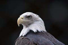 Голова орла к зоопарку стоковое изображение rf