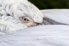 Голова пеликана Стоковые Фото