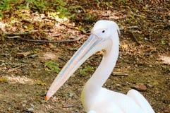Голова пеликана стоковое изображение