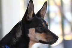 Голова профиля собаки кэльпи стоковые изображения