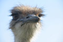 Голова птицы страуса для дизайна концепции Стоковые Фото