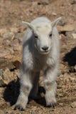 Голова ребенк козы горы дальше Стоковые Изображения RF