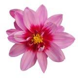Голова розового цветка как маргаритка и хризантемы на белой предпосылке стоковое фото