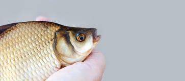Голова рыб карася, масштабы снимает кожу с фото taexture Картина карпа Crucian взгляда макроса чешуистая Селективный фокус, малая Стоковые Изображения RF