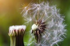 Голова семени одуванчика на предпосылке зеленой травы стоковое фото rf