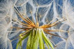 Голова семени одуванчика на предпосылке цвета, конце вверх Стоковые Изображения