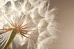 Голова семени одуванчика на предпосылке цвета, конце вверх Стоковые Фотографии RF