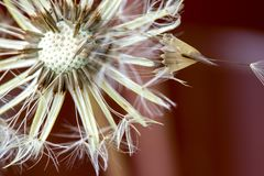 Голова семени одуванчика с росой утра стоковая фотография