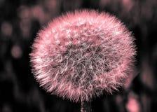 Голова семени цветка одуванчика Стоковое Изображение