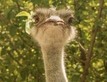 Голова смешного страуса анфас, смотря прямо на камере стоковые изображения rf