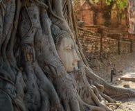 Голова статуи Будды в корне дерева стоковое фото rf