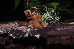 Голова улитки земли, fulica lissachatina, с antennea на стволе дерева с битом мха стоковое фото