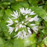 Голова цветка одичалого чеснока в зеленых листьях Стоковые Изображения