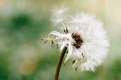 Голова цветка одуванчика выпуская свои семена близко вверх по фото макроса с предпосылкой bokeh из фокуса Стоковое Фото
