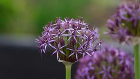 Голова цветка aflatunense лукабатуна ощущения лукабатуна пурпурного в саде лета стоковые фото