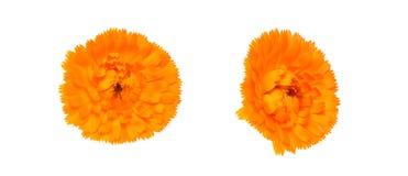 Голова цветка calendula в белой предпосылке Стоковые Фото