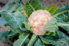 Голова цветной капусты окруженная защитными зелеными листьями стоковые фотографии rf