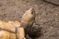 Голова черепахи Sulcata африканская самая большая черепаха концом вверх по объективу стоковая фотография