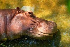 Голова potamus гиппопотама лежит вниз в глазе реки открытом немного с sunligh Стоковые Фото
