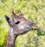 Голова ` s жирафа в природе Стоковые Изображения