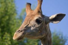 Голова ` s жирафа в природе Стоковые Изображения RF