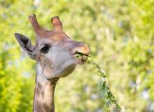 Голова ` s жирафа в природе Стоковое Изображение
