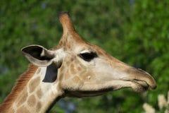Голова ` s жирафа в природе Стоковые Фото