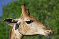 Голова ` s жирафа в природе Стоковое Изображение RF