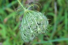Голова wildflower шнурка ` s ферзя Энн в ранней стадии отверстия Стоковое Фото