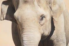 головка азиатского слона Стоковое фото RF