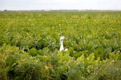 Головка белой гусыни в зеленой капусте Стоковое Фото
