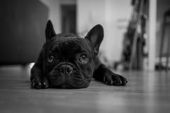 головка бульдога раскосная французская смотря усаживание 6 старого щенка бортовое к неделям стоковые фото