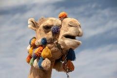 головка верблюда Стоковая Фотография RF