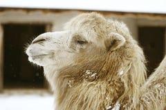 головка верблюда Стоковые Изображения