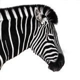 головка взваливает на плечи зебру Стоковые Фотографии RF